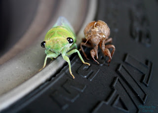Newly Emerged Cicada Next to Old Self on Tire
