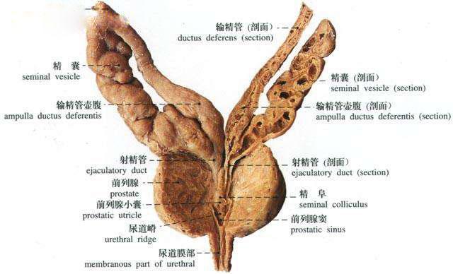 15                               urethral crest                  Urethral Crest
