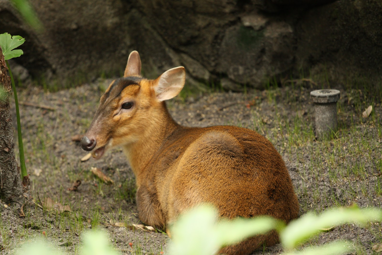 Reeve's muntjac videos, photos and facts - Muntiacus reevesi | ARKive