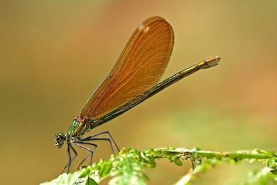 Odonatos - Libelinha (Calopteryx virgo)