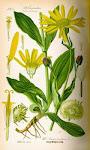 Arnica (arnica montana L.)