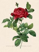 Rosa (rosa gallica L.)