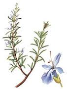 Romero (rosmarinus officinalis L.)