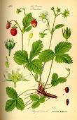 Fresal (fragaria vesca L.)