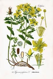 Hierba de San Juan (Hipericum perforatum)