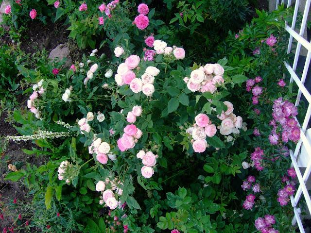 Hageliv og hagedesign: Beskjæring av roser