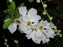 Exochorda x Macranta 'The bride' - Perlebusk