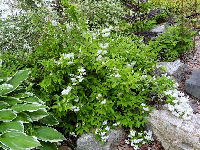 Hageliv og hagedesign: Småstjernetopp, Deutzia gracilis