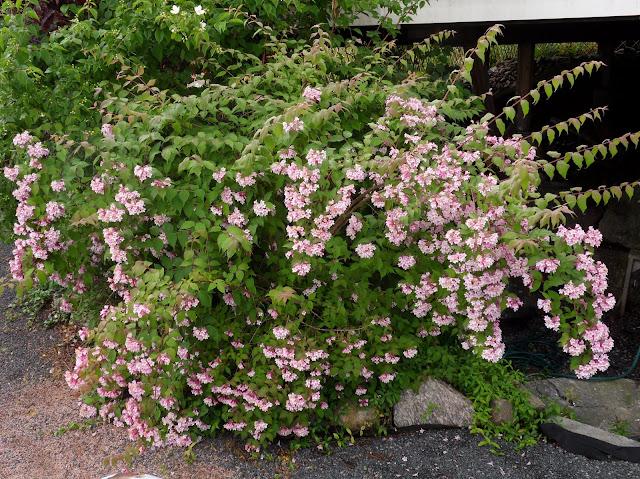 Hageliv og hagedesign: Fagerbusk, Kolkwitzia amabilis