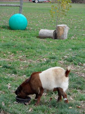 Miniature+horses+mating+videos