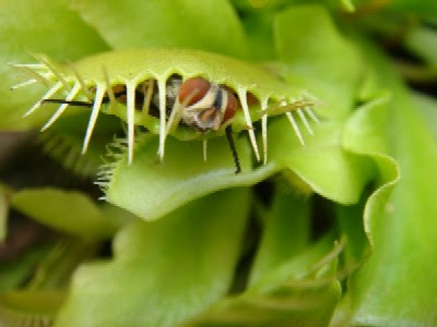 Tropical Rainforest Venus Fly Trap Venus Fly Trap Caught a