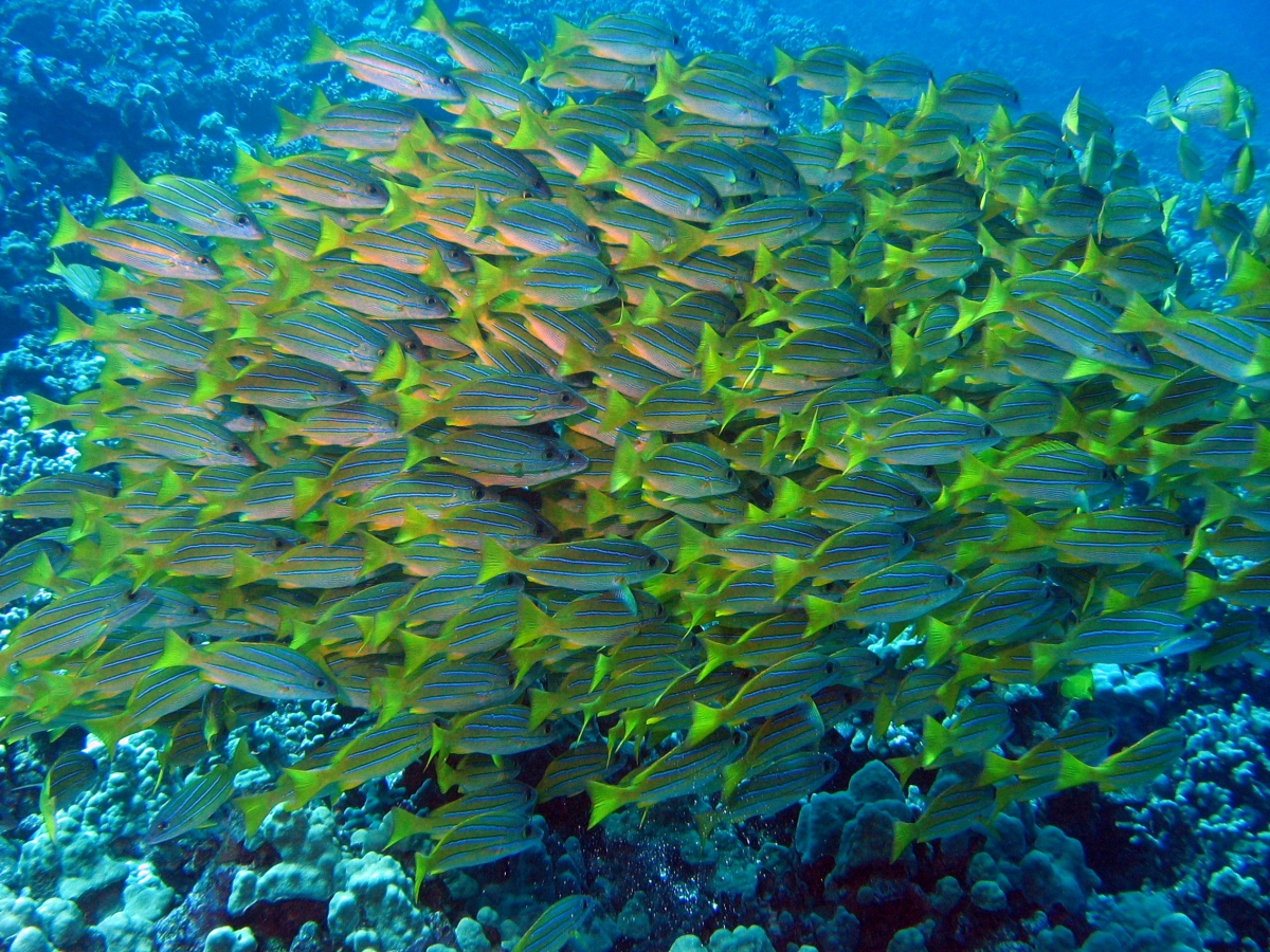 List of fish of hawaii for Fish of hawaii