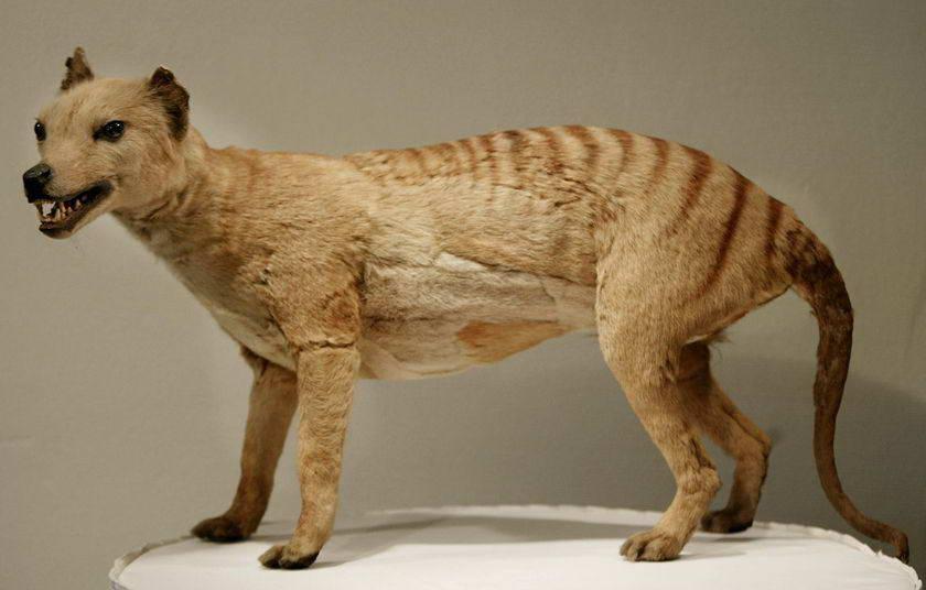 Thylacine Photo 10 Spesies Hewan yang Menakjubkan yang telah Punah