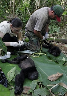 Costa Rican biologist Idalia Valierio, left, and biologist Ronald Sanchez, right, take measurements and stool and blood samples of captured Congo monkeys at the Nogal Reserve near Sarapiqui, Costa Rica, Saturday, April 14, 2007. Scientists from two Costa Rican universities are studying effects of climate change such as cataracts caused by damage to the ozone layer, loss of pigmentation due to pesticides and other diseases in a primates' genetics and general health study. (AP Photo/Kent Gilbert)