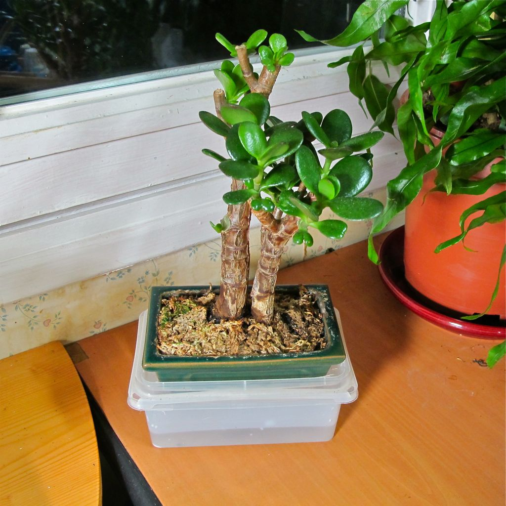 Plant In Crassula Ovata De Mini Bonsa Semi Hydro