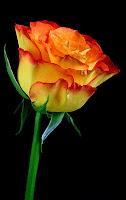 Rose is a rose is a rose is a rose.