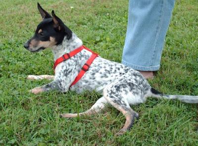 Galla Feist Squirrel Dog Hunting Photo Gallery West Virginia Jack