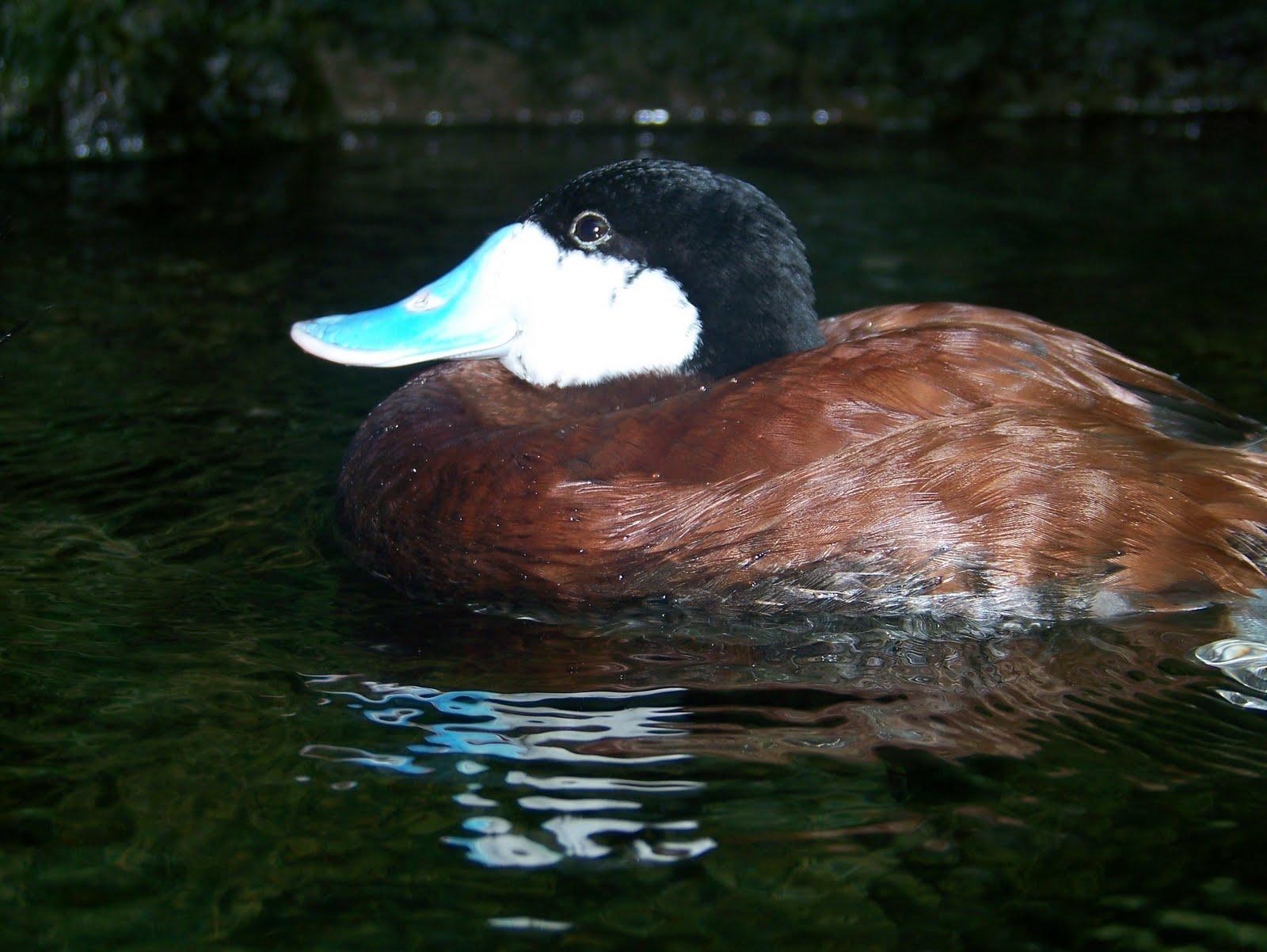 http://1.bp.blogspot.com/_S3FtWvyjIWg/S_KvLUq33RI/AAAAAAAAAVA/K-0WNsQ4n-U/s1600/ducks+001.jpg