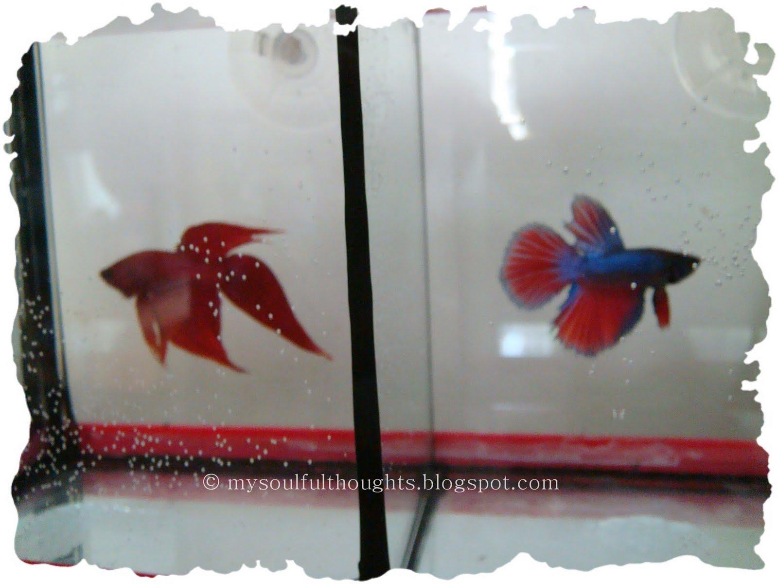 http://1.bp.blogspot.com/_S4L6AhIXYXk/TAm8G5FmzsI/AAAAAAAAGqM/G0U_Zd9EYY4/s1600/betta%2Bfish.jpg
