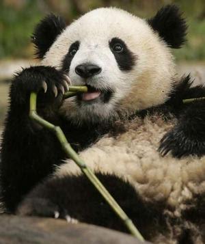 Anak Ibu Panda