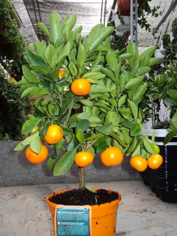 Viveros vangarden naranjo enano for Viveros de arboles frutales en chihuahua