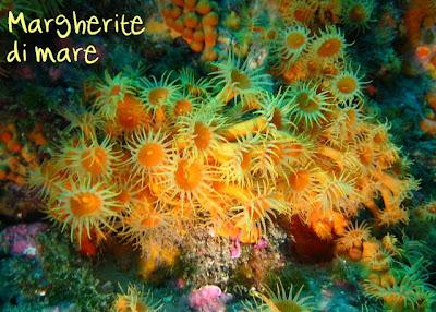 Una vita in blu maggio 2007 parazoanthus axinellae detti anche margherite di mare peccato che non sono fiori ma animali thecheapjerseys Gallery