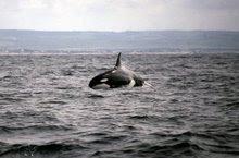 ORCA SALTANDO en CONIL
