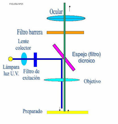 partes del microscopio. Fluorescencia inducida: Partes