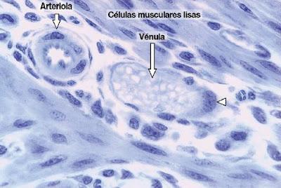 external image vasos+sanguineos+microcirculacion+1.JPG