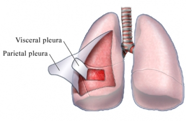 Visceral Pleura