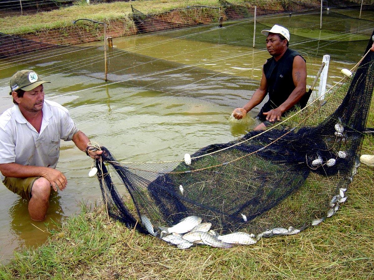 Piscicultura cria de trucha for Como hacer un criadero de carpas