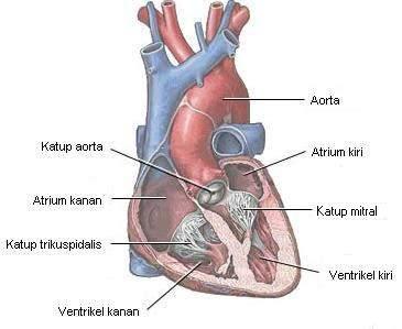 Katup & ruang jantung