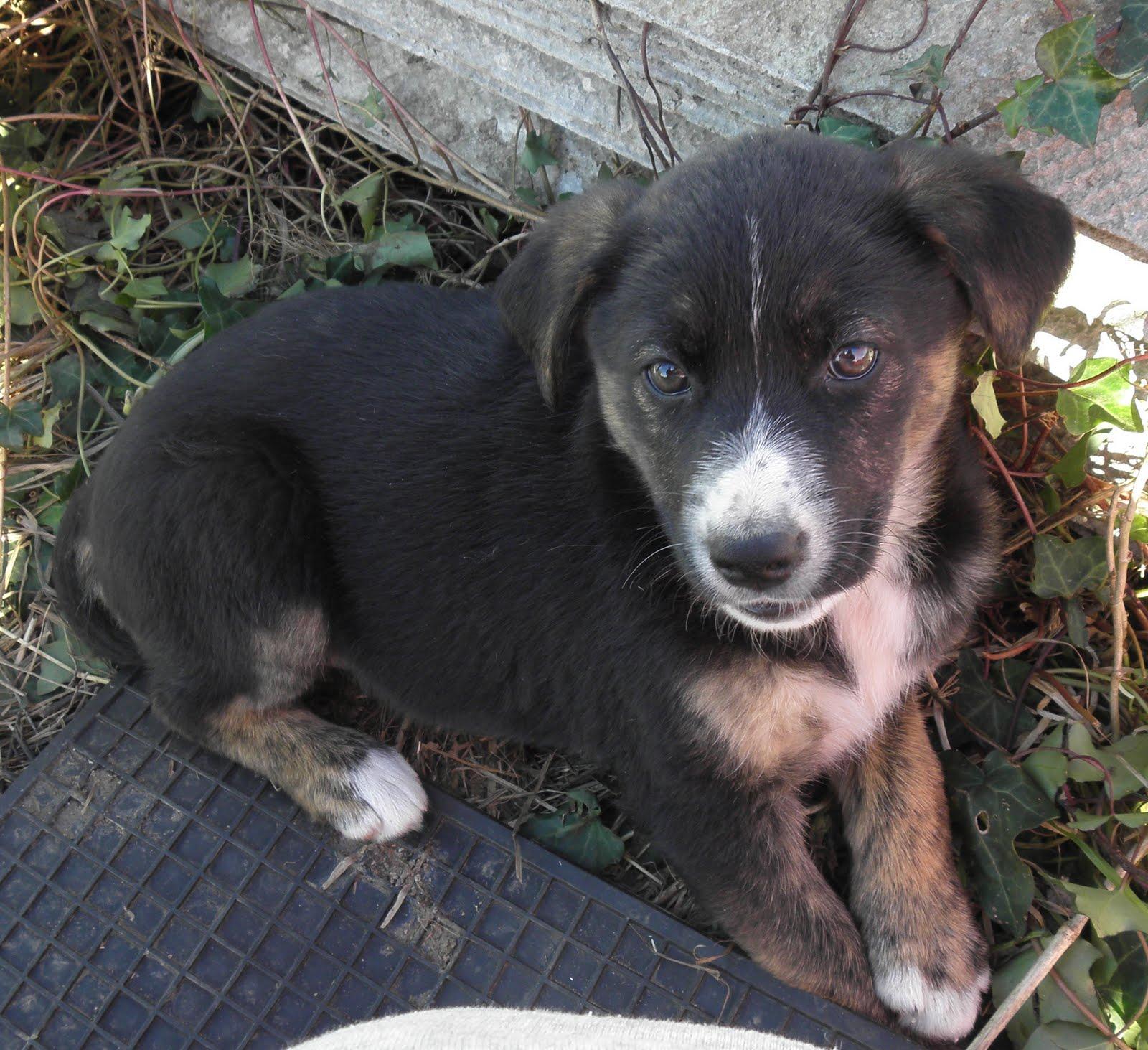 Animales en adopcion en galicia 4 cachorros en adopcion for Pastores alemanes en coruna