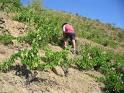PACO vendimiando en la zona más complicada de la Tena, en laderas pedregosas y resbaladizas.