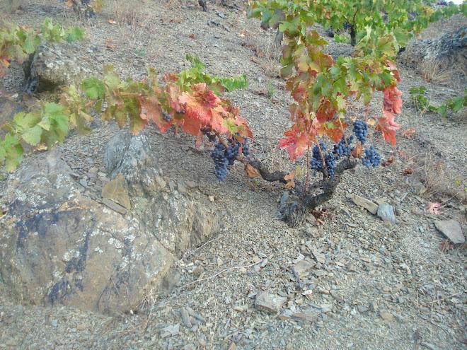 la vieja cariñena esplendida e indomable de la tena - CLOS DOMINIC VINYES ALTES