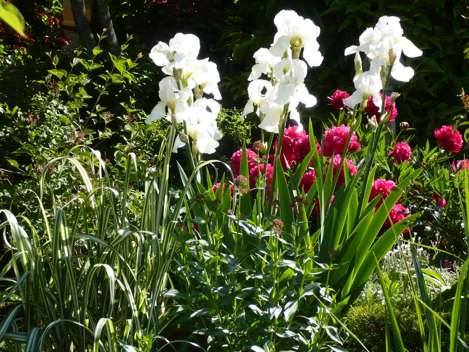 Le jardin des grandes vignes iris blanc et pivoine rubra plena - Le jardin des grandes vignes ...