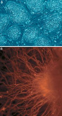 biotecnologia y celulas madre multipotentes