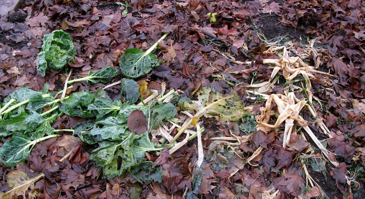 how to grow garlic in british columbia