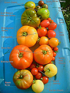 herbal in thailand: Tomato:Cultivation and uses