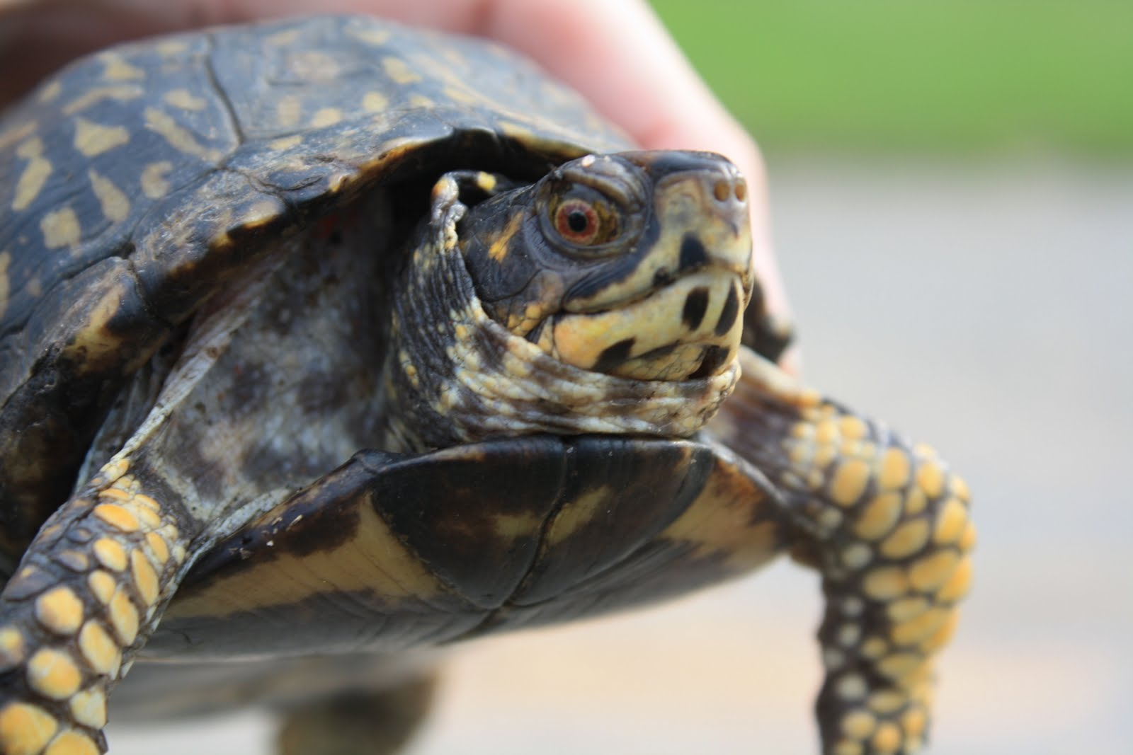 Freshwater Turtles in Catastrophic Decline Trail of the Trail