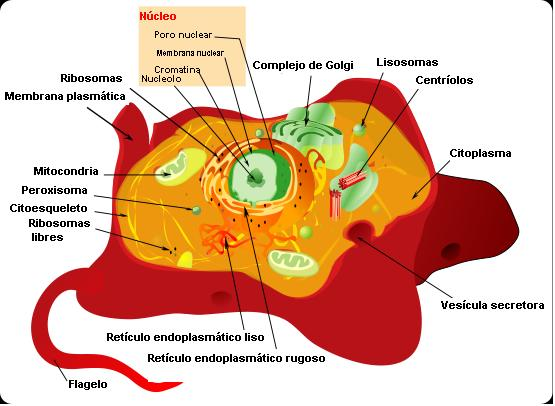 diferencia entre celula animal y celula. La célula animal se diferencia