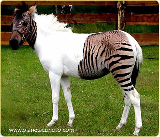 hembra y el mulo macho son producto del cruzamiento entre una yegua y