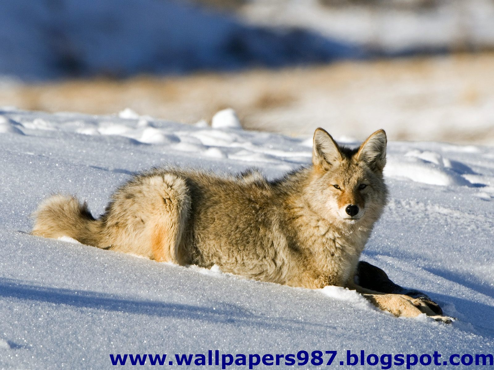 http://1.bp.blogspot.com/_SOSNZoTv8ng/TQYVfjbbDSI/AAAAAAAAAHA/Qshe88X4jyY/s1600/windows_masaustu_arka_plan_resimleri_vahsi_kediler_aslan_kaplan_HD_HQ_Full_Animal.+Pic+%252838%2529.jpg