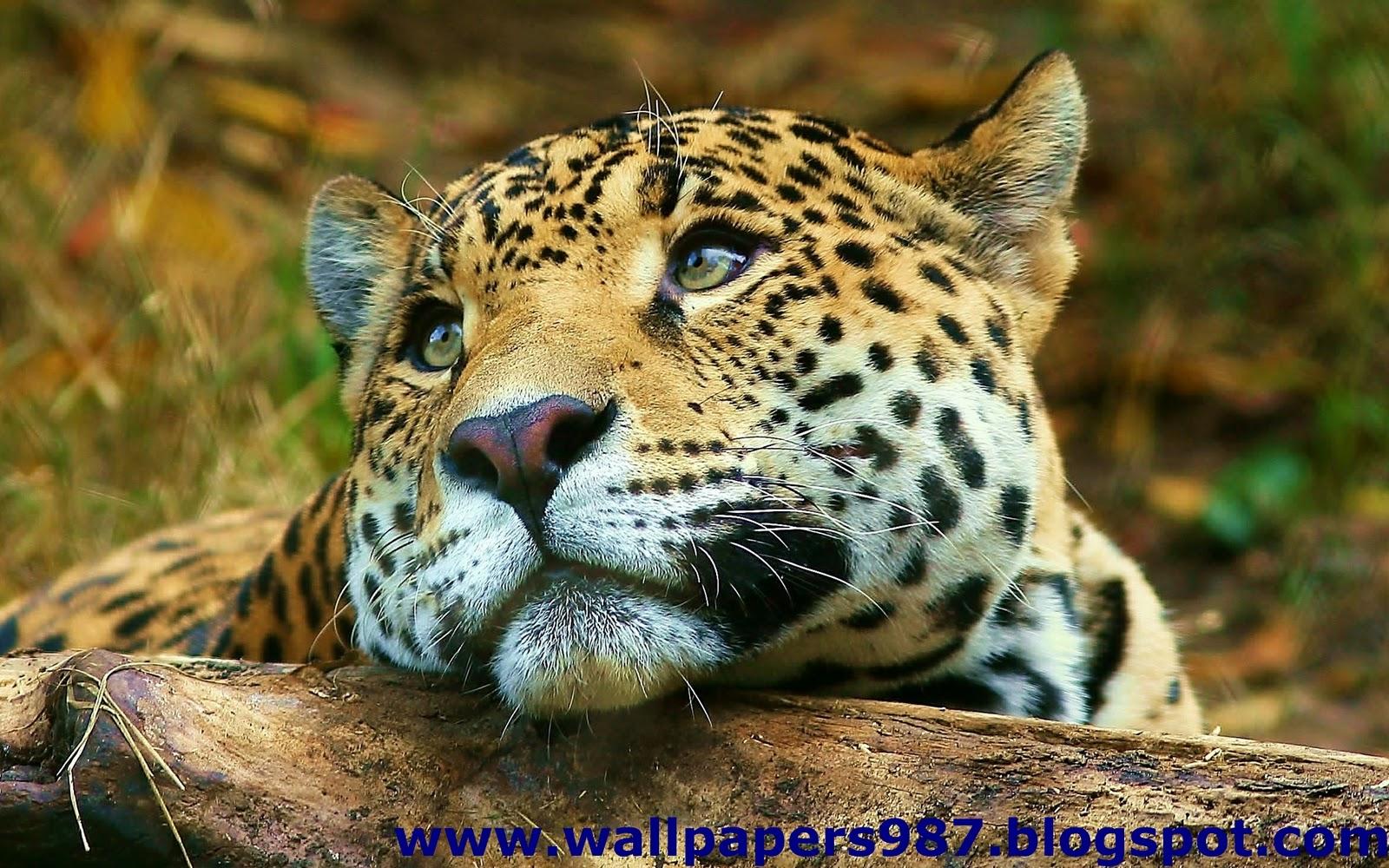 http://1.bp.blogspot.com/_SOSNZoTv8ng/TQYWli_E64I/AAAAAAAAAHU/D7nmknYyxbU/s1600/windows_masaustu_arka_plan_resimleri_vahsi_kediler_aslan_kaplan_HD_HQ_Full_Animal.+Pic+%2528132%2529.jpg