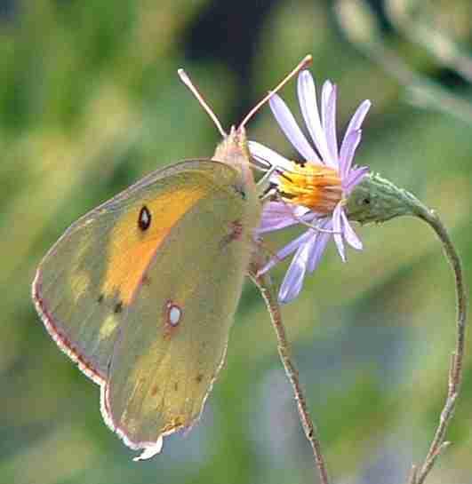 [alfalfa_butterfly_on_lessingia.jpg]