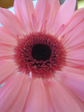 Vacker rosa gerbera...