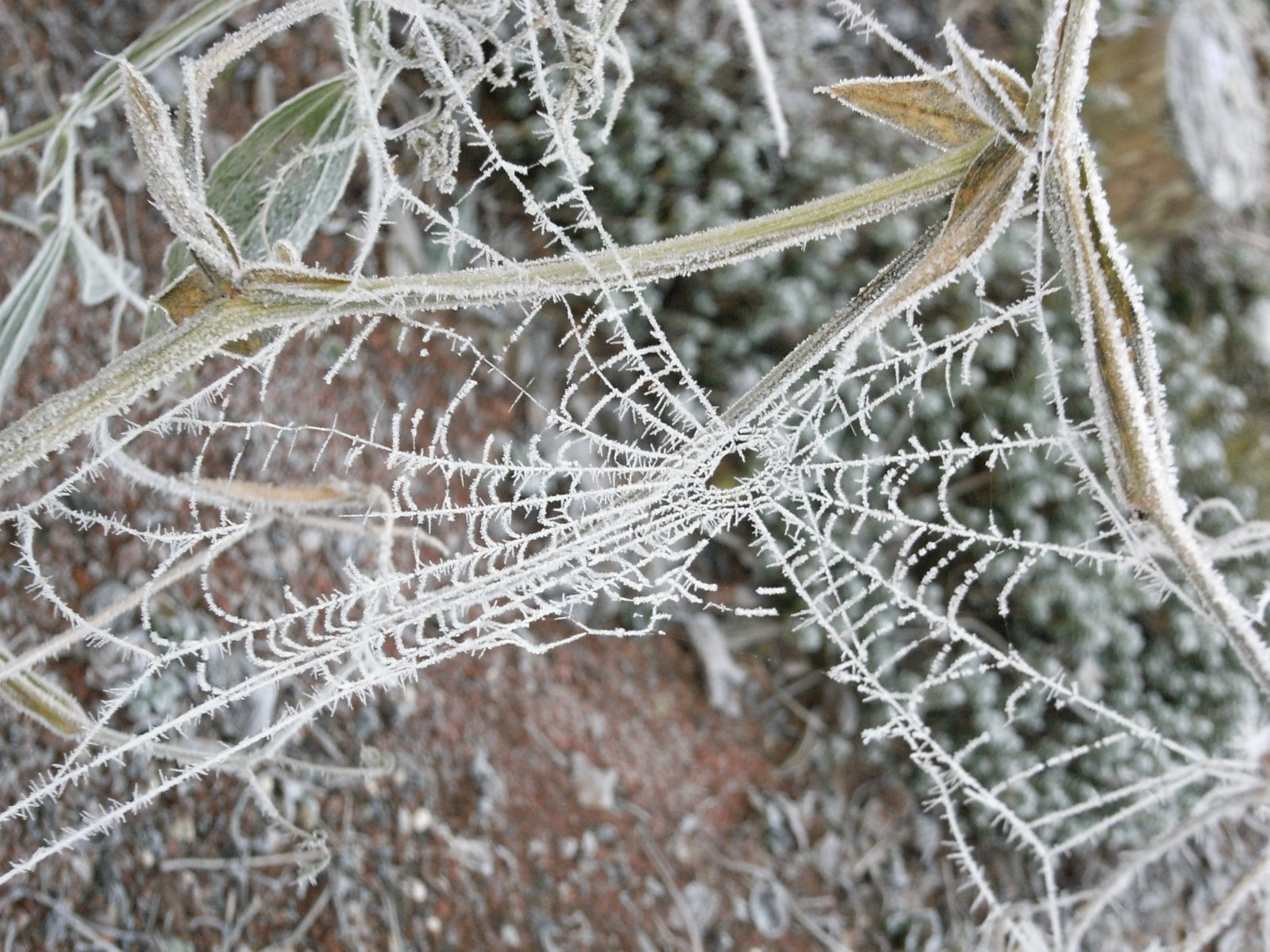 [19Dec07Frost+on+Spider]