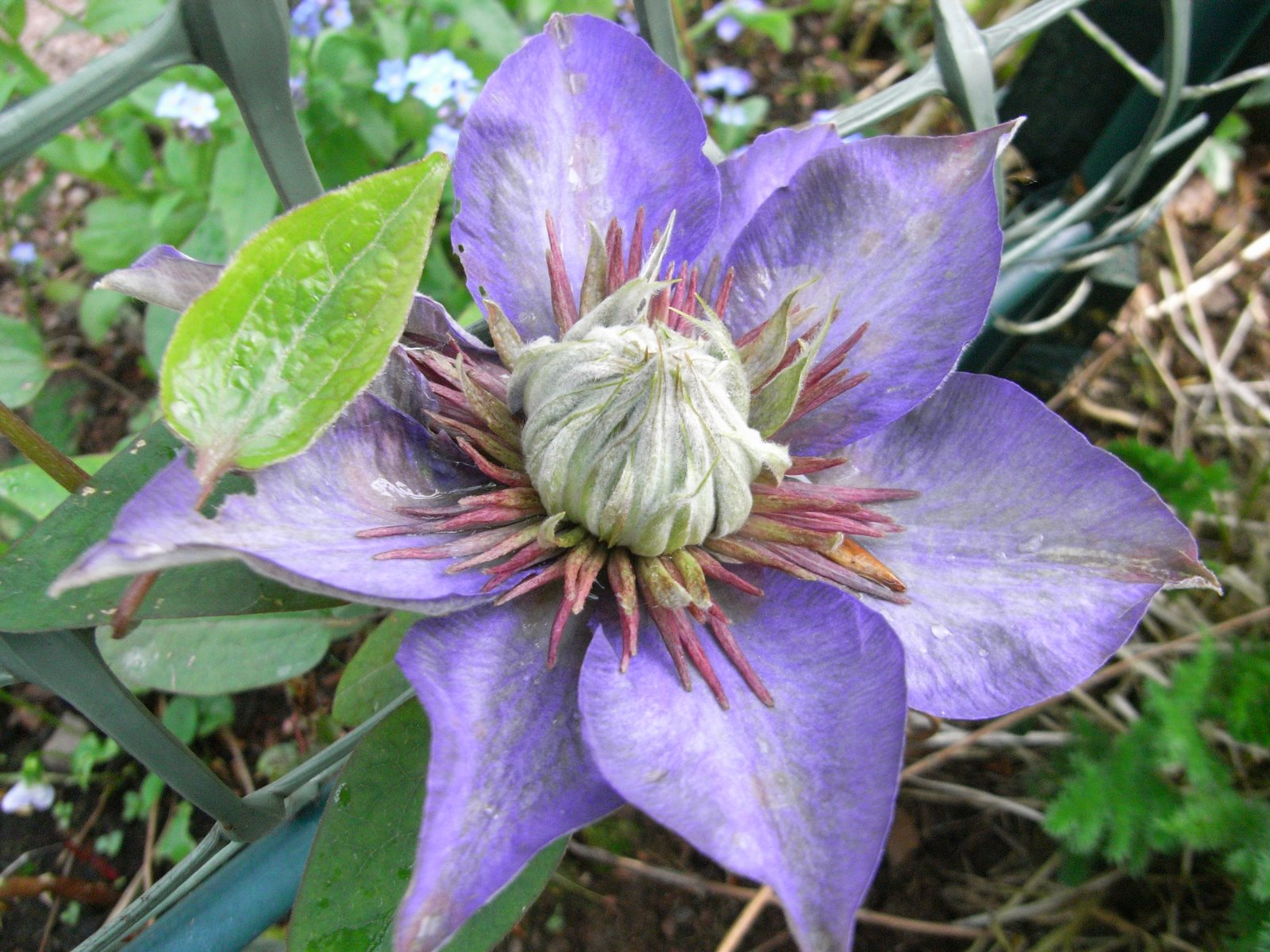 [17June08+Double-Flowered+Clematis+]