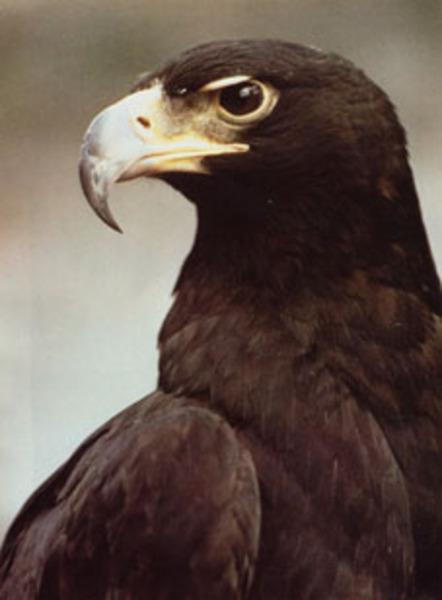 �������� �������������... black_eagle_4651af59