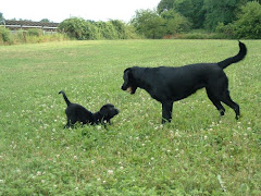 CCI Puppy #1: Hadlee